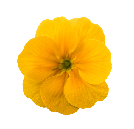cowslip: yellow primrose flower isolated on white Stock Photo