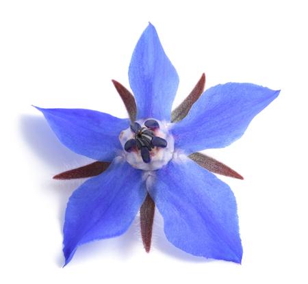 Borage flower isolated on white background