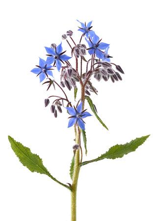 Borage plant (Borago officinalis) isolated on white background