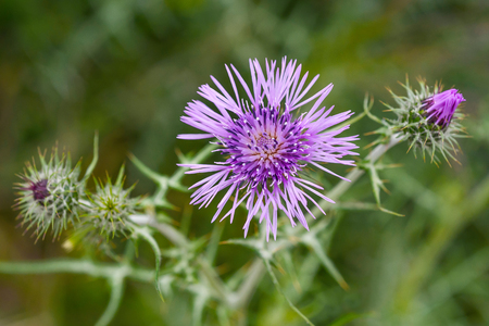 thistles flowers on a blurred background