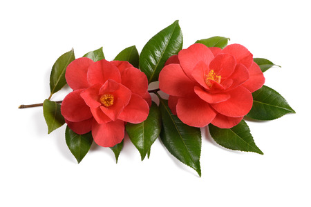 Two red camellia flowers isolated on white background 스톡 콘텐츠