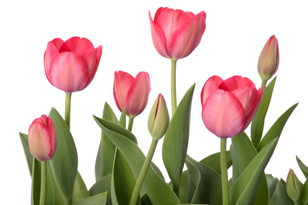 Red tulips flowers isolated on white background