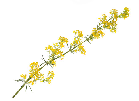 officinal: ladys bedstraw flowers ( Galium verum ) isolated on white