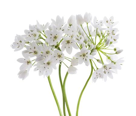 isolated flower: wild garlic flowers isolated on white background