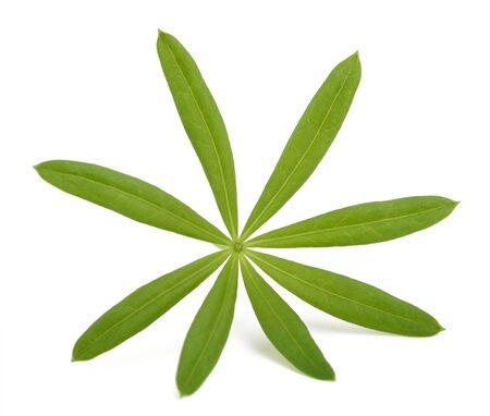 sweet woodruff: Fresh sweet woodruff leaf isolated on white background Stock Photo