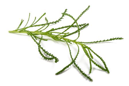 olivia: Santolina viridis ( Olive herb ) isolated on white