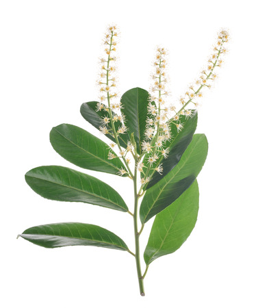 Prunus laurocerasus flowers isolated on white