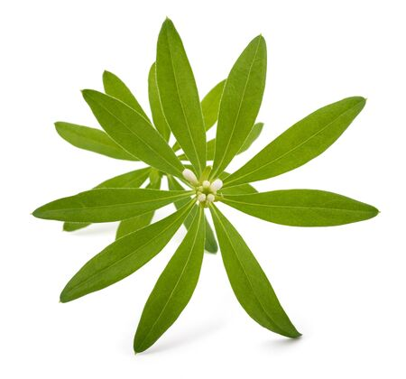 sweet woodruff: Fresh sweet woodruff with flowers isolated on white background Stock Photo