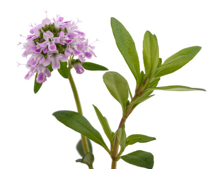 marjoram: Summer savory flowers isolated on white background Stock Photo