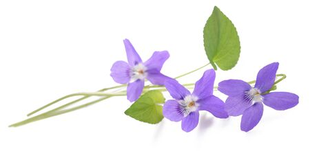 violeta: dulce violeta, viola aislado en el fondo blanco Foto de archivo