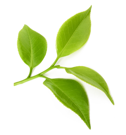 tea sprig isolated on white background