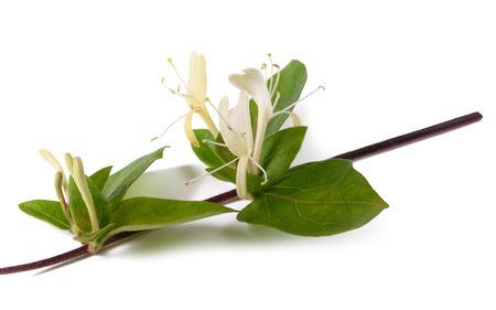花や葉は、白い背景で隔離の小枝スイカズラ