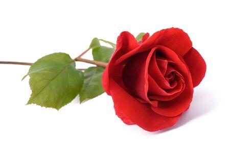 Rosa roja flor aislada sobre fondo blanco Foto de archivo