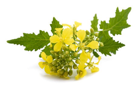 Mustard flowers isolated on white background 스톡 콘텐츠