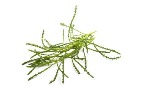 viridis: Santolina viridis ( Olive herb ) isolated on white