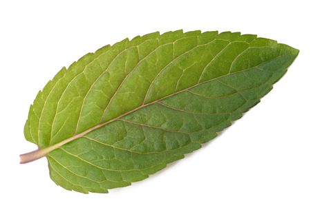 fresh leaf: Fresh mint leaf isolated on white background Stock Photo
