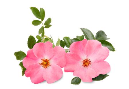 branch: Dog rose (rosa canina) isolé sur fond blanc