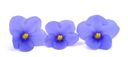 violeta: Saintpaulia (violeta africana) aislado en el fondo blanco