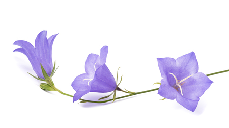 little bell: Bellflowers isolated on white. Campanula rotundifolia