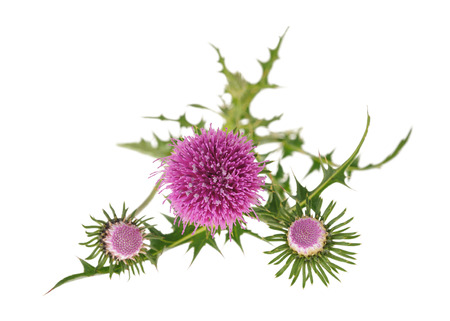 thistles: thistles flowers isolated on white background