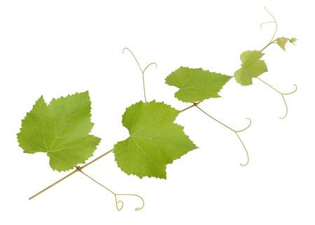 Fresco ramo di vite isolato su sfondo bianco