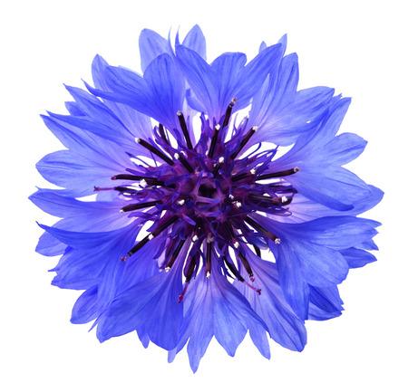 白い背景に分離された青いコーンフラワー (シアン誘引) 写真素材