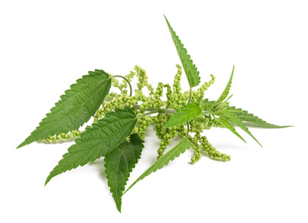 nettle with flowers isolated on white background