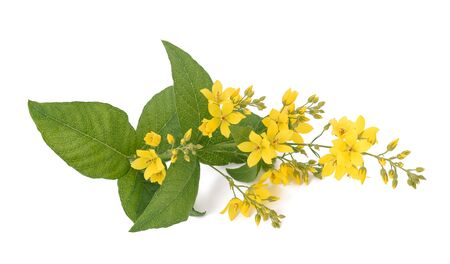 officinal: Garden Yellow Loosestrife isolated on white