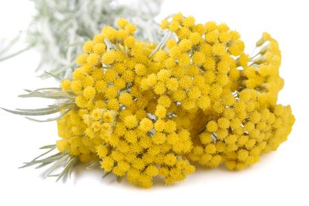 白い背景で隔離ヘリクリサムの花