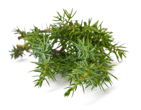a juniper: Juniper twig isolated on white background