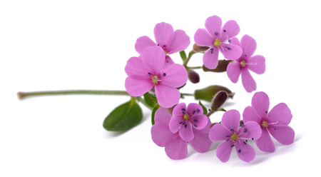 Soapwort (Saponaria officinalis) isolated on white background 免版税图像
