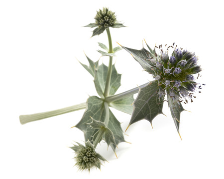 ocean plants: Sea holly thistle isolated on white Stock Photo