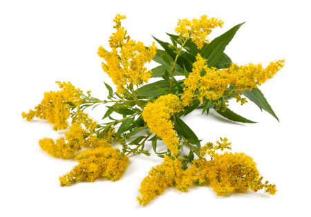 officinal: Goldenrod (Solidago gigantea) flowers isolated on white