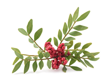 Mastic Tree with Red Berries - Pistacia lentiscus isolated on white background Stock Photo