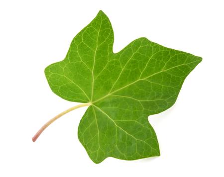 Ivy leaf isolated  on white background