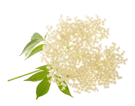 Elderberry flower on a white background