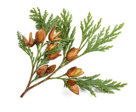 Cypress gałązka z owocami wyizolowanych na białym tle Zdjęcie Seryjne
