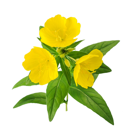 officinal: common evening primrose flowers isolated on white Stock Photo