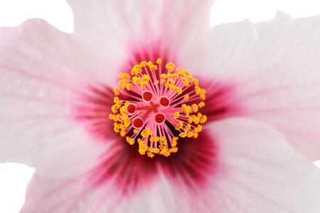 stigma: Pink hibiscus flower   with pistil and stigma
