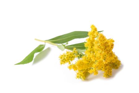 Goldenrod (Solidago gigantea) flores aisladas en blanco