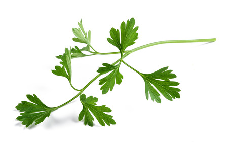 perejil: Fresh parsley sprig  isolated on white background