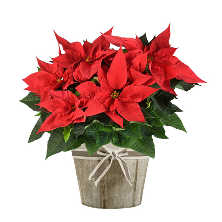 pots: Red poinsettia plant in wood vase isolated on white Stock Photo