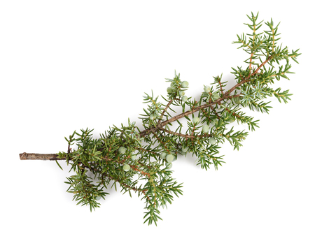 enebro: Juniper branch with green berries isolated on white