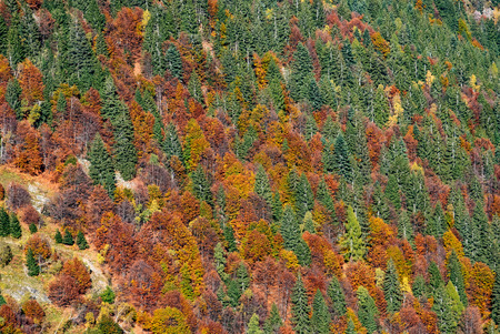 larch tree: colored forest  mountain in fall, nature background