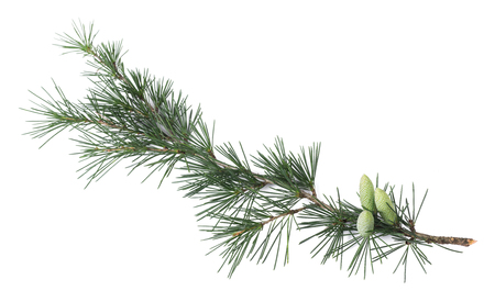 Pine branch with buds isolated on white Stock Photo