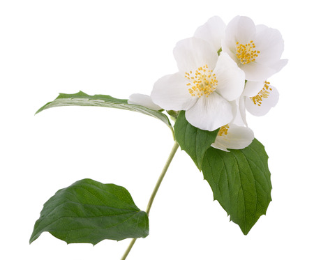 philadelphus: Orange blossom (zagara) isolated on white background