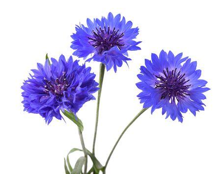 Blue cornflowers (Cyanus segetum) isolated on white background