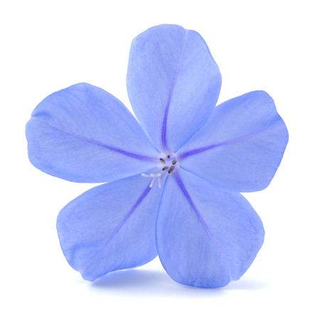 auriculata: Plumbago (leadworth flower) isolated on white background