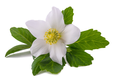 Hellebore flower (Christmas rose) isolated on white