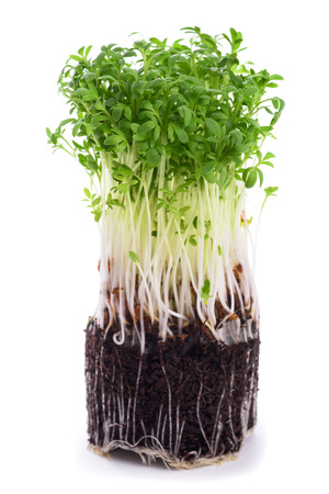 cress sprouts isolated on white